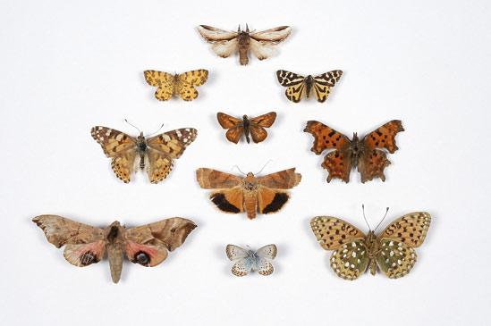 Butterflies & Moths (Vince Bevan)